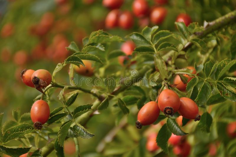 Rose hip near czech city of Chomutov on end of summer on 8th september 2019 royalty free stock photo