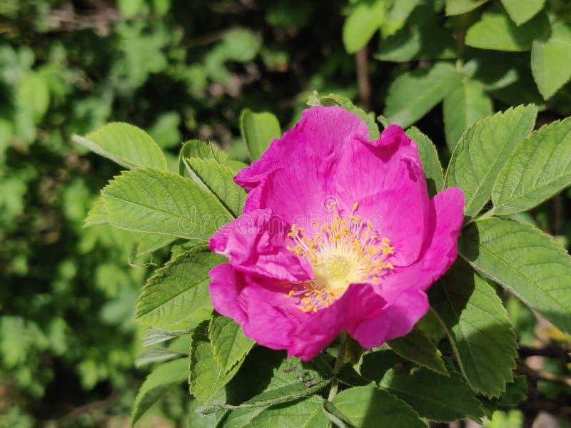 Rose hip pink stock photography