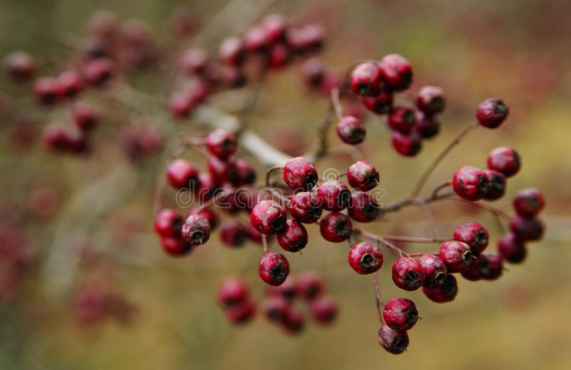 Close up ripen wild rose hip fruits in early spring. stock image