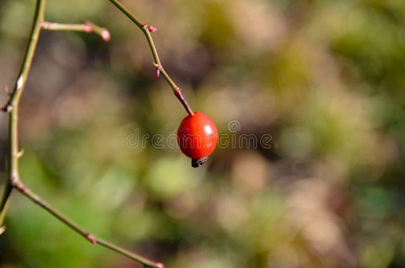 Rose Hip seule rouge à une branche simple photographie stock