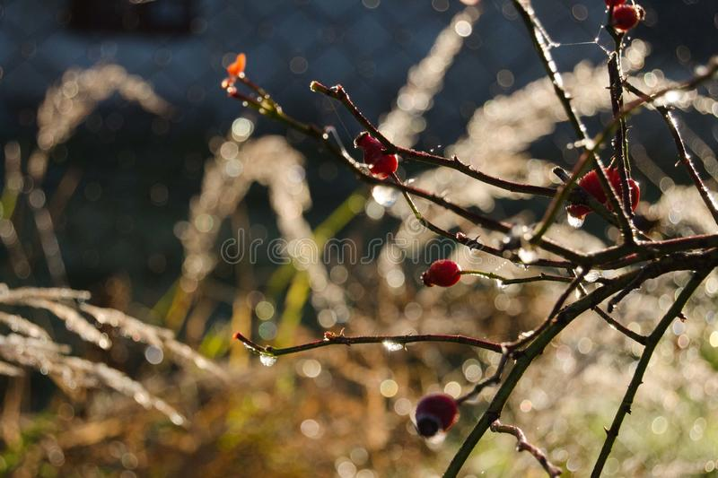 Download Rose hip with water drop stock photo. Image of sunny - 83717038