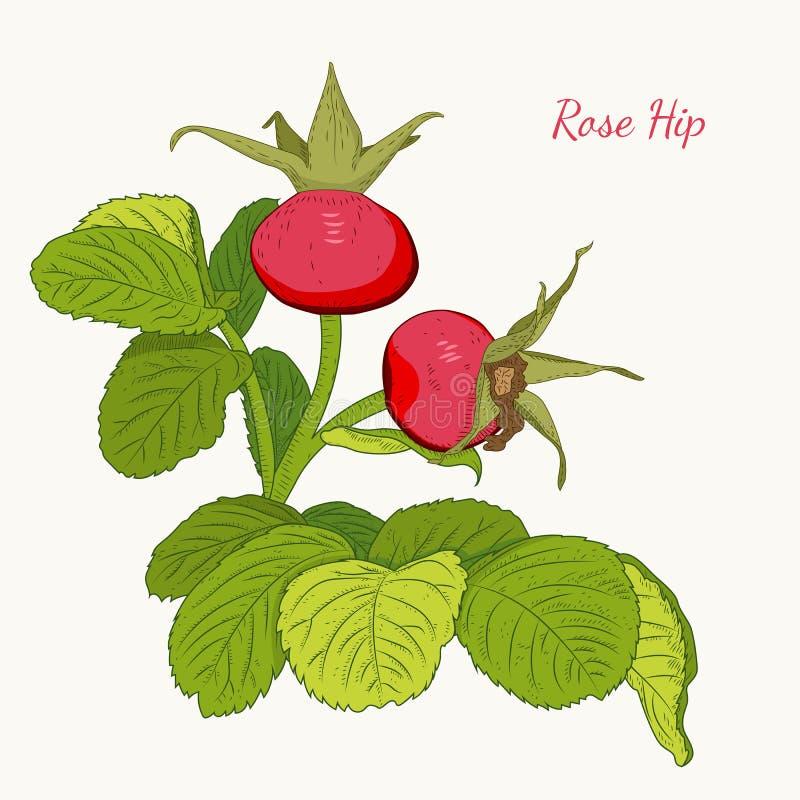 Rose hip wild red berries dog rose isolated. Rose hip wild red berries on branch with green leaves. Dog rose isolated botanical vector design illustration on stock illustration