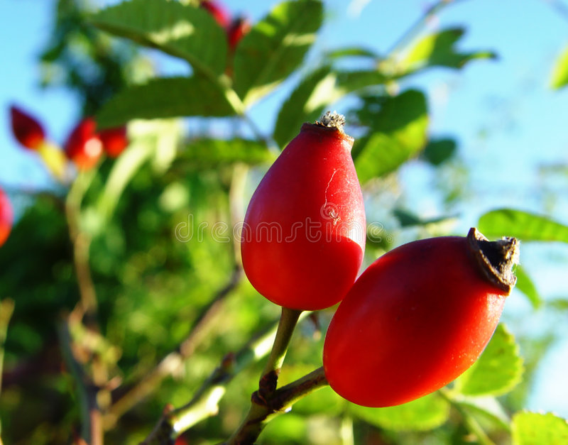Download Rose hips stock photo. Image of leaf, thorn, october, closeup - 27068
