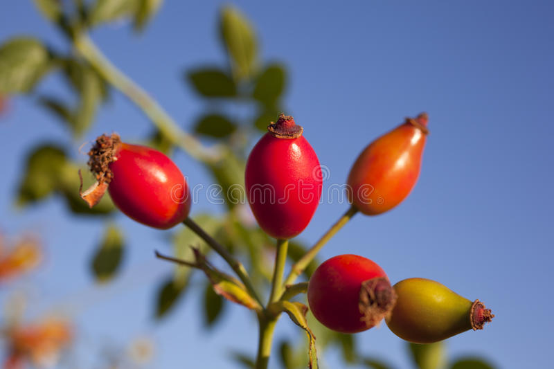 Rose hips. From the bushes royalty free stock photos