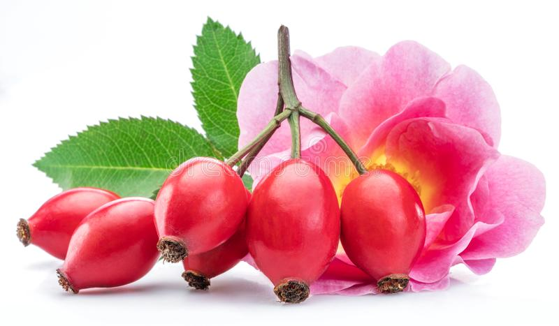 Rose-hips with rose flower isolated on a white background.  royalty free stock images