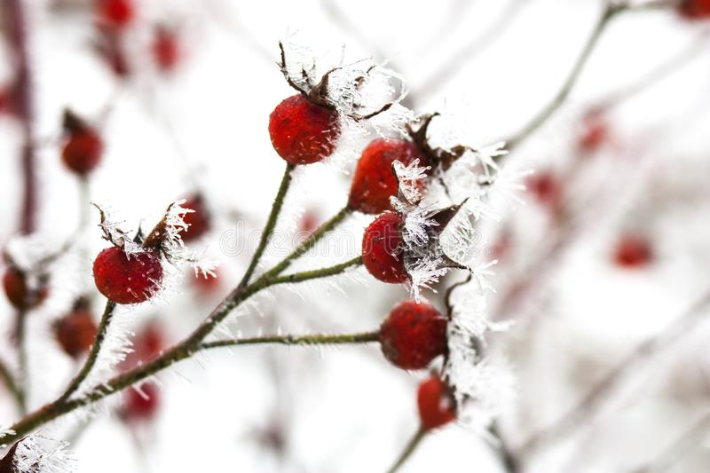 Rose Hips in Frost. Rose hips covered with frost in winter stock images