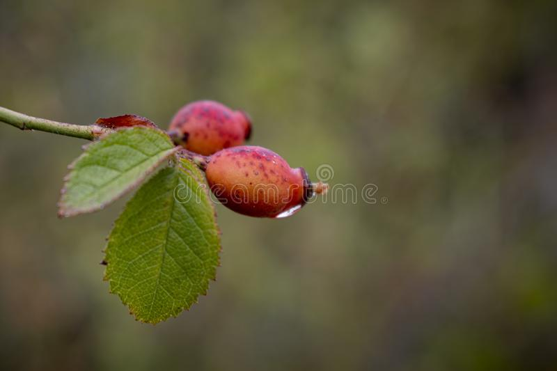 Rose hips in the rain. Natural autumn background of red berries covered with moisture after the rain stock images