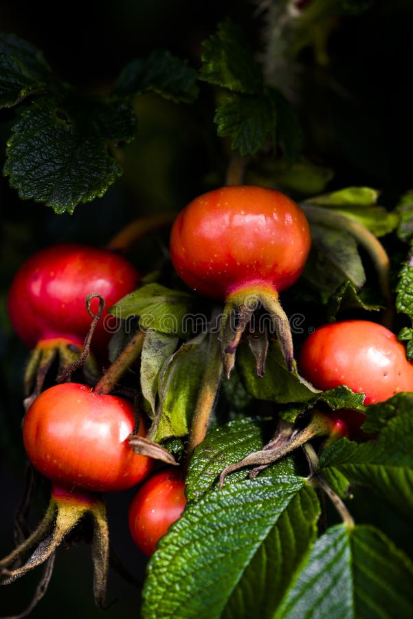 Rose hips ripening on rose bush lightened by autumn sun. royalty free stock photography