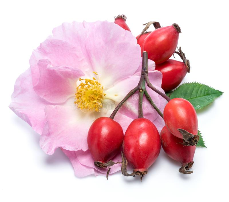 Rose-hips with rose flower isolated on a white background.  royalty free stock photo