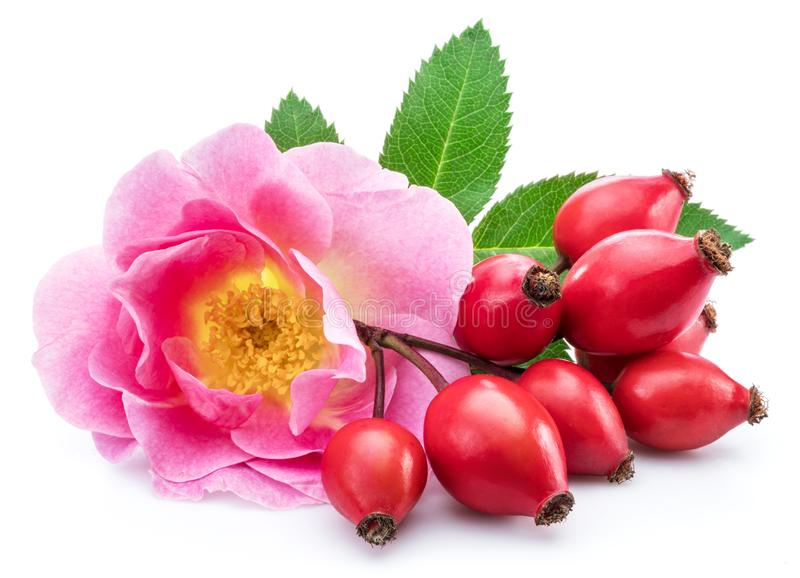 Rose-hips with rose flower isolated on a white background.  stock photography