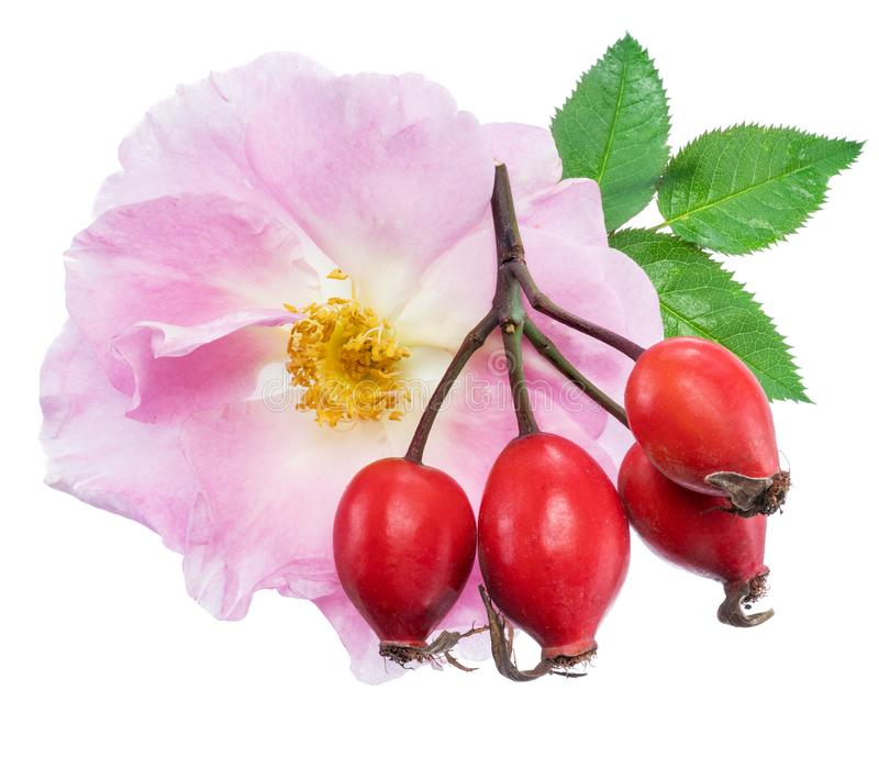 Rose-hips with rose flower isolated on a white background.  stock photo