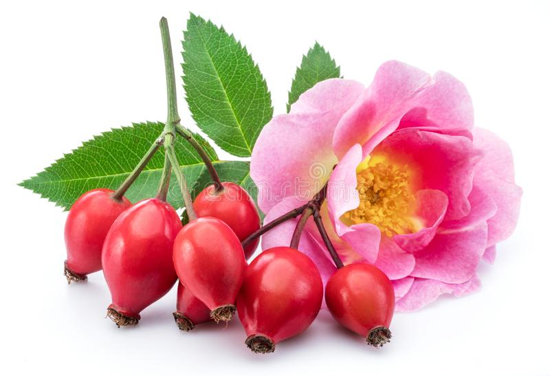 Rose-hips with rose flower isolated on a white background.  royalty free stock photography
