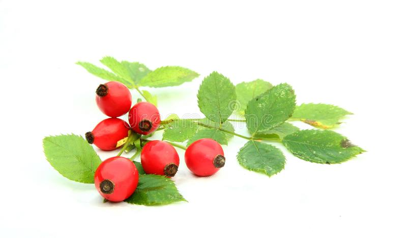 Rose hips. And leaves isolated royalty free stock photo