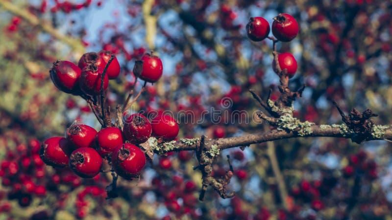 Rose Hips rouge sous le ciel bleu en automne photographie stock libre de droits