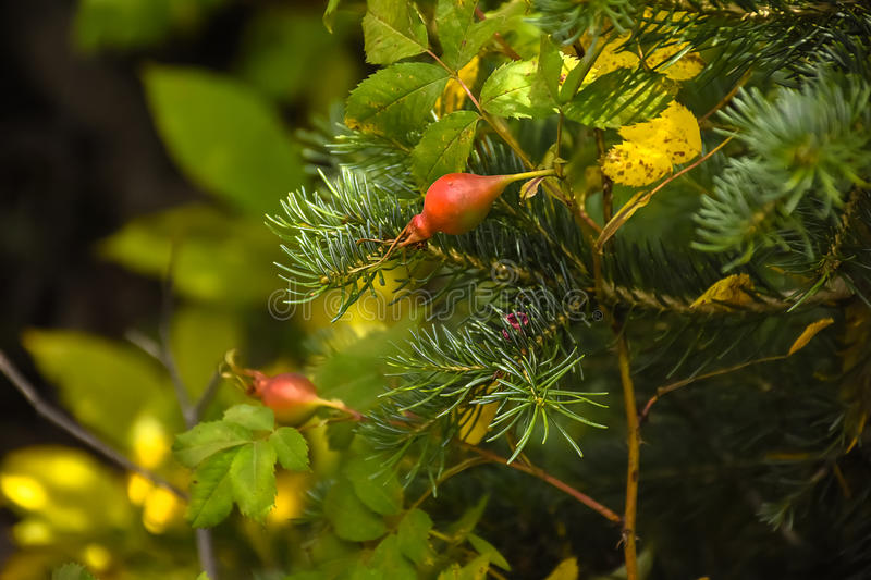 Rose Hips on Wild Rose Plant royalty free stock photo