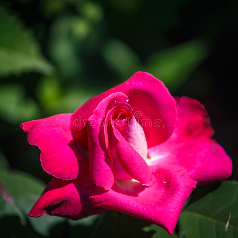 Rose. Hot pink blooming rose :Acapella with beautiful green background royalty free stock photo