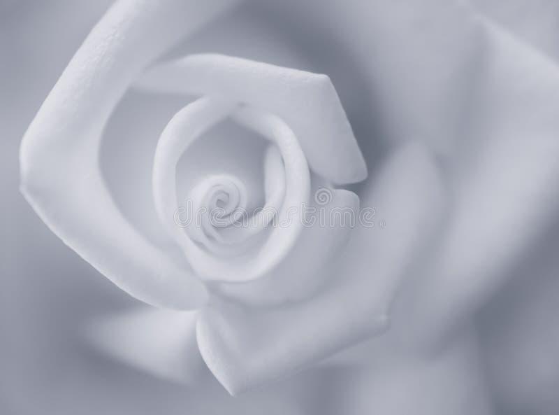 Rose i närbild royaltyfria bilder