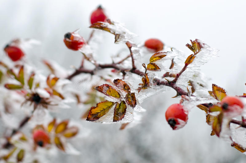 Rose and ice. Rose thorn in the ice stock image