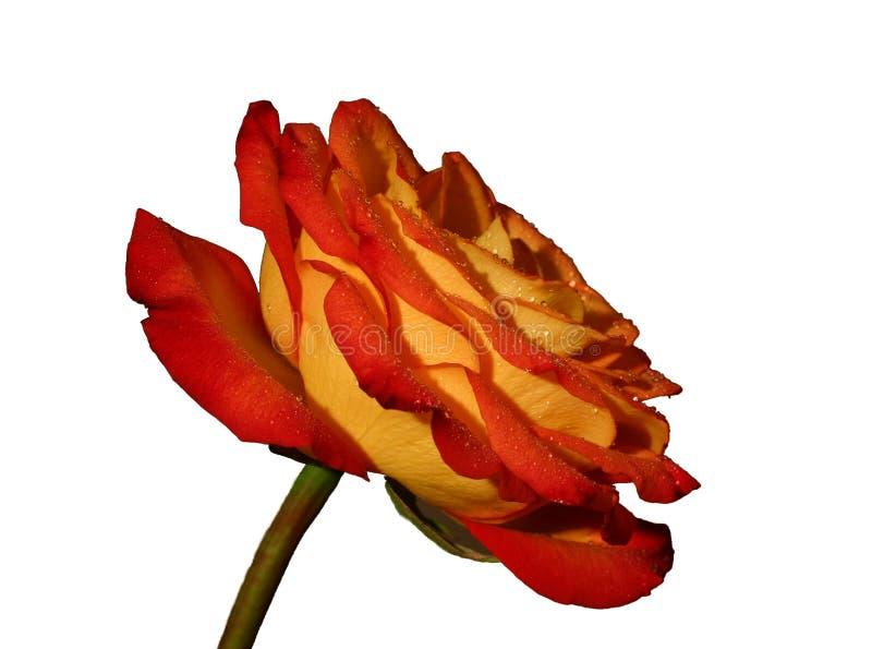 Rose II Imagen de archivo