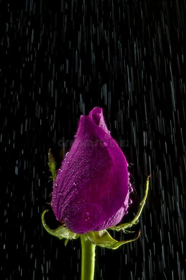 Rose im Regen stockfotografie