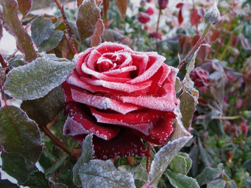 Rose im Reif stockfotografie