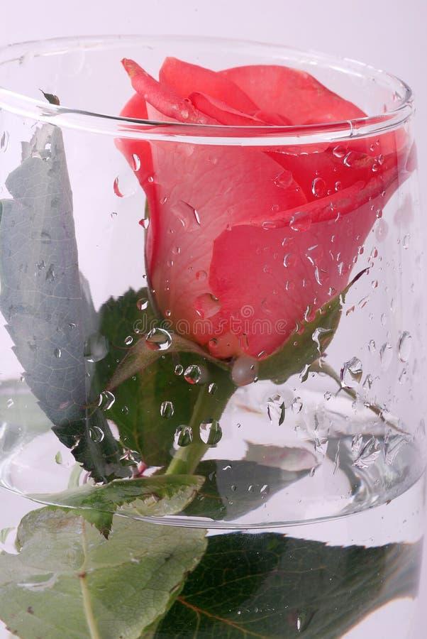 Rose im Wasser lizenzfreie stockfotos