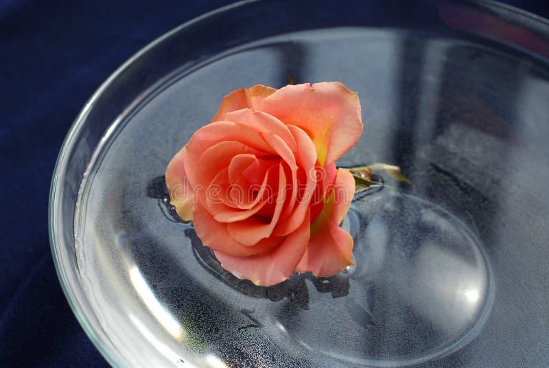 Rose im Wasser stockbild