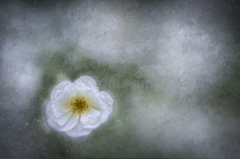 Rose im Weiß stockfotos