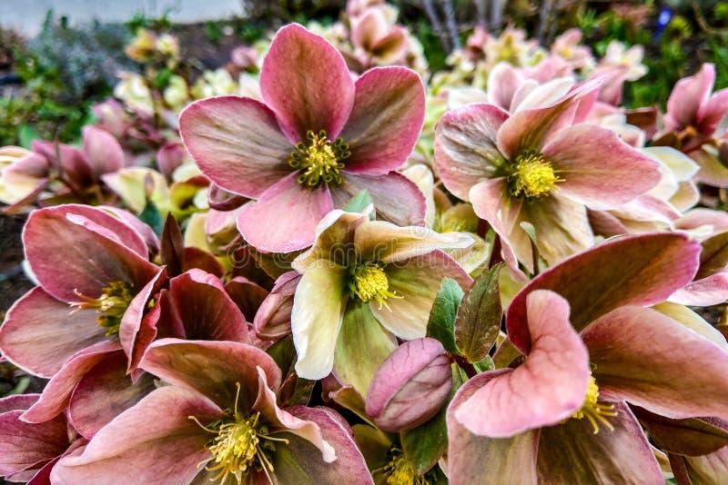 Rose inclinant la tête la cirrhose de floraison de clématite Clématite Piilu photographie stock libre de droits
