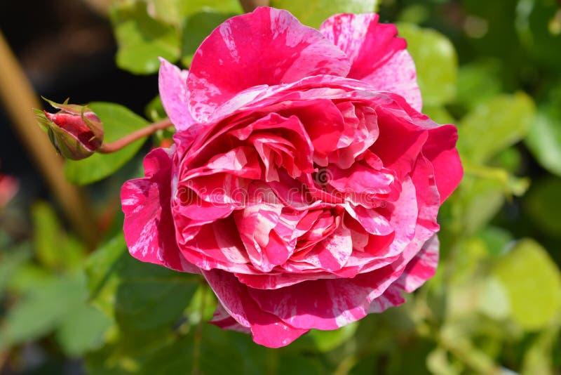 Rose Ines Sastre photo libre de droits