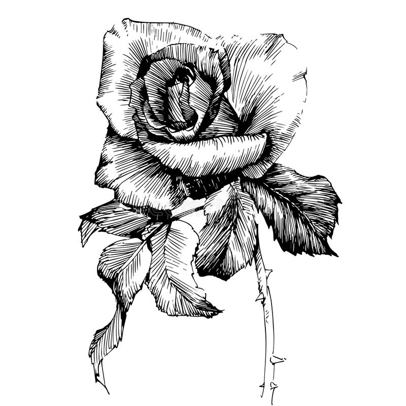 Ink Line Drawing Artists : Rose ink drawing flowers stock vector illustration of