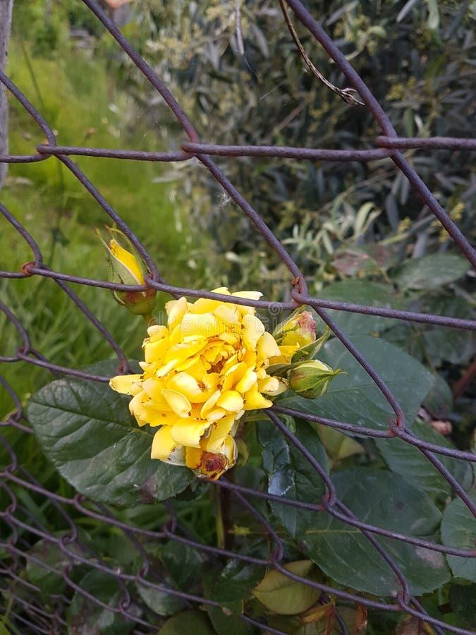 Rose Innatural amarilla foto de archivo libre de regalías