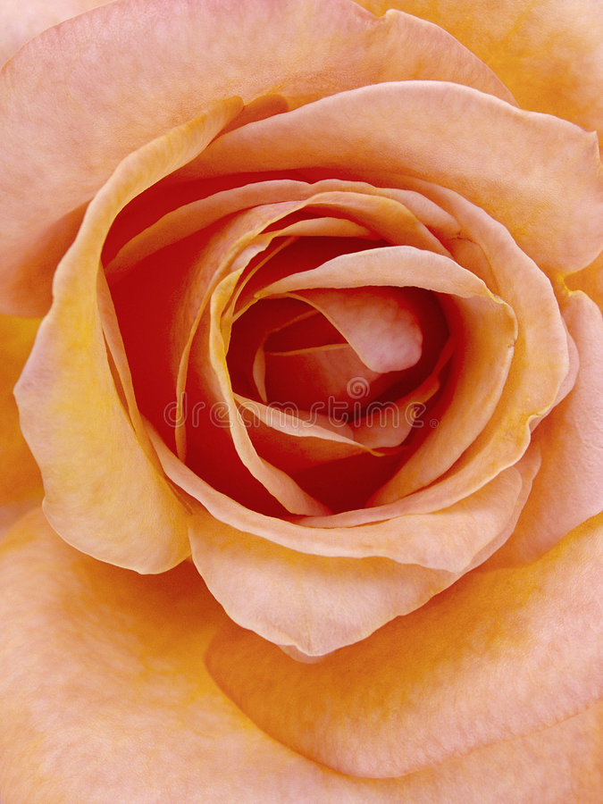 Rose inside royalty free stock photo