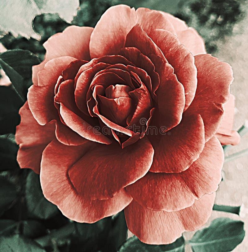 Rose intense image stock