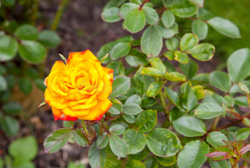 Rose Irish Eyes images libres de droits