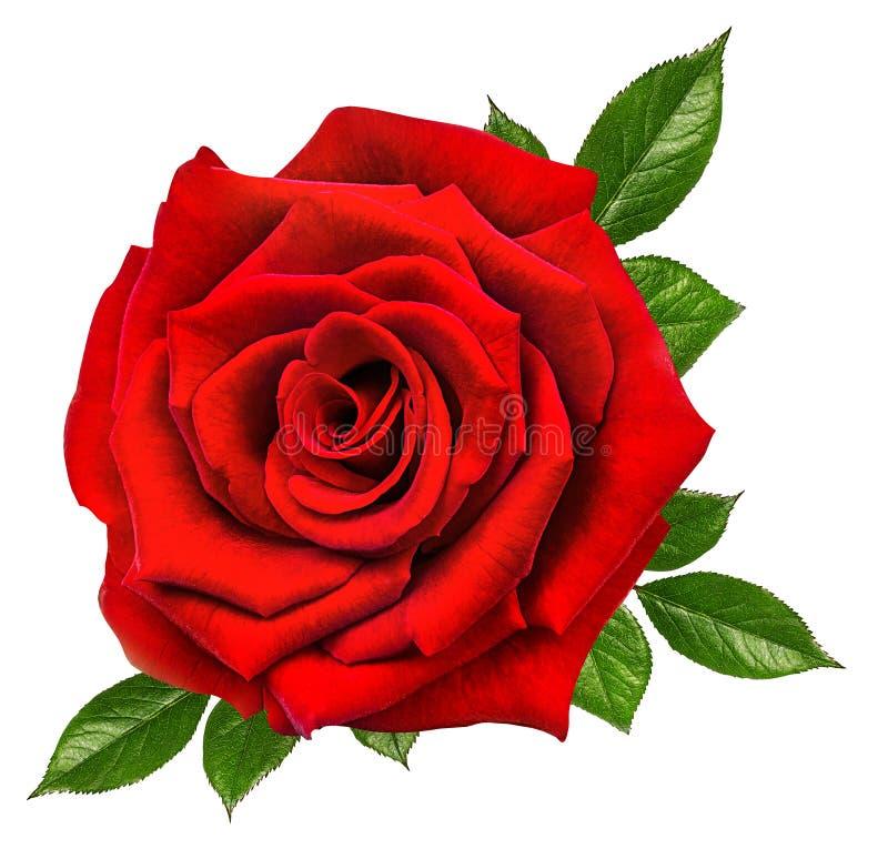 Rose Isolated auf Weiß stockfoto