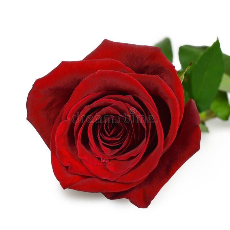 Rose Isolated auf Weiß lizenzfreie stockfotos