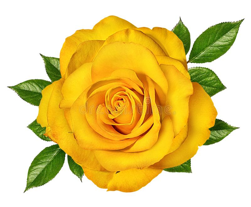 Rose Isolated no branco fotos de stock royalty free