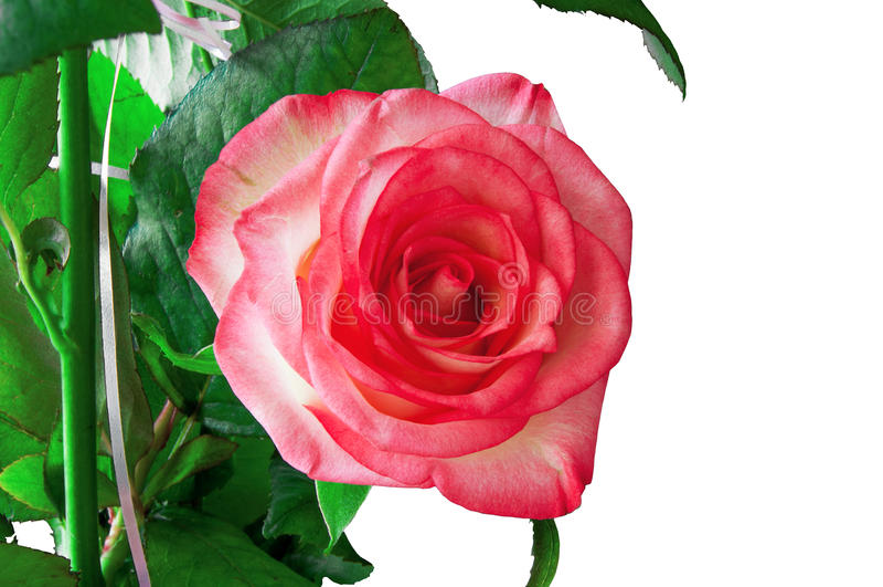Rose Isolated su bianco fotografia stock