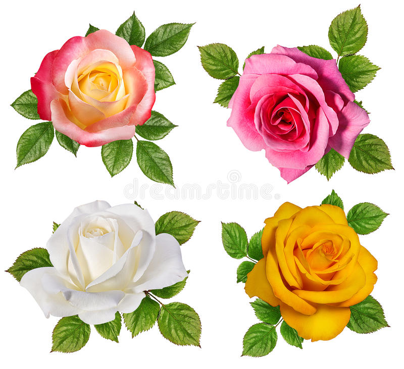 Rose isolated on white. Background stock image