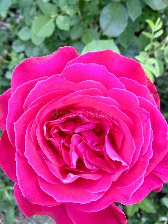 Rose ist eine schöne rote Blume! lizenzfreies stockbild