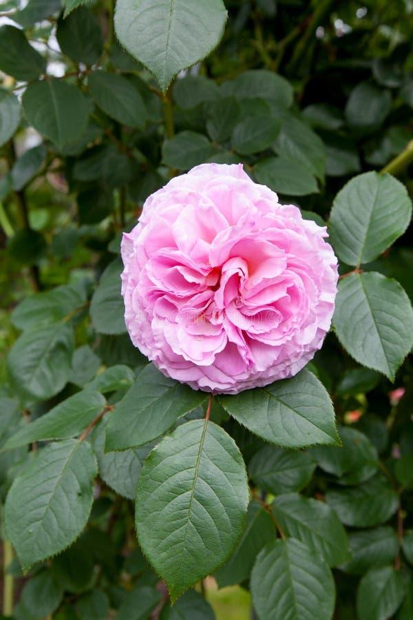 Rose James Galway stock photos
