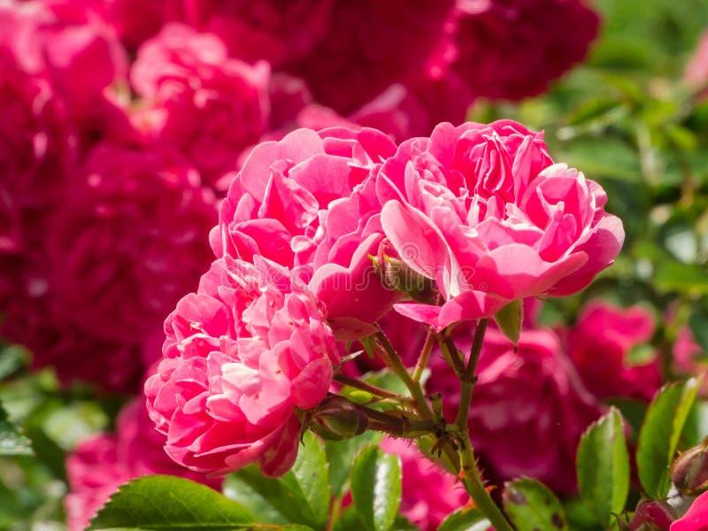 Rose Japon Rose images libres de droits