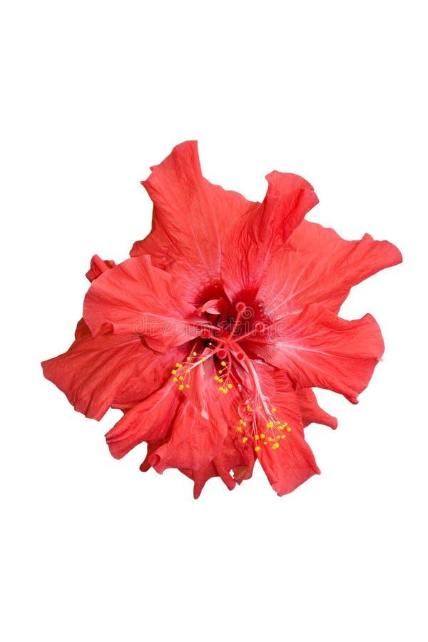 Rose japonaise images libres de droits