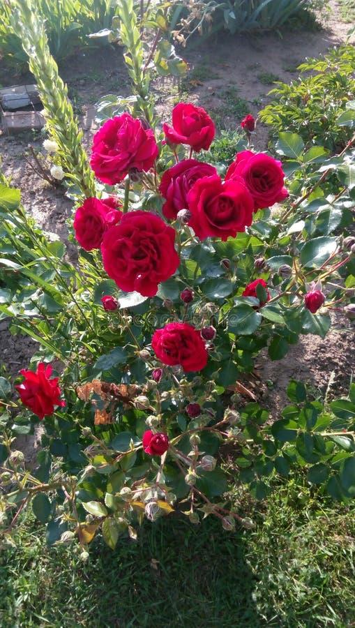 Rose foto de archivo libre de regalías