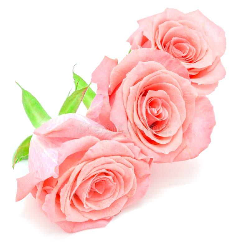rose jasnoróżowy obrazy royalty free