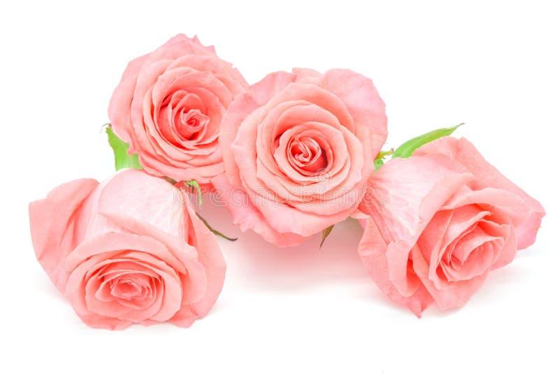 rose jasnoróżowy fotografia stock