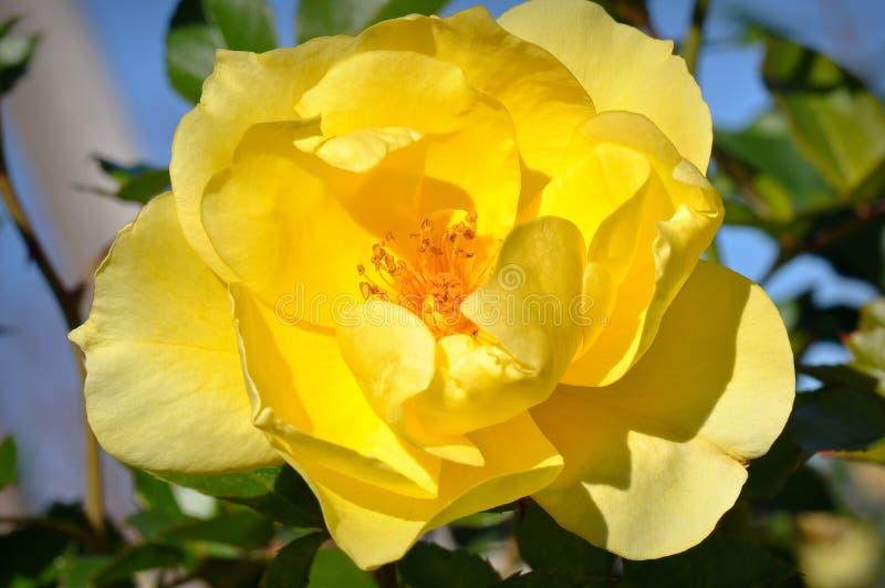 Rose jaune photo libre de droits