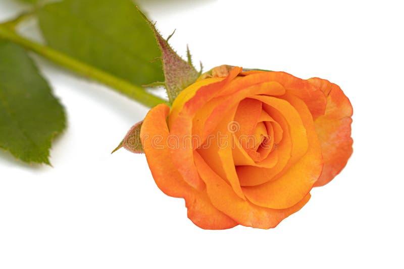 Rose jaune avec des feuilles photographie stock