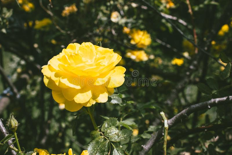 Rose jaune colorée dans le jardin photo libre de droits